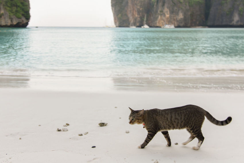 Cat feeling comfy close to walter Maya Bay Thailand Animal Themes Beach Cat Day Domestic Animals Domestic Cat Feline Horizon Over Water Mammal Nature No People One Animal Outdoors Pets Phi Phi Island Sand Sea Water