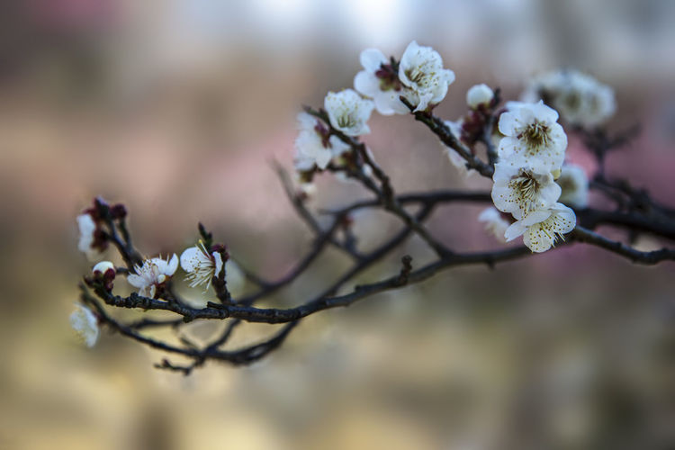 Plum Blossoms and Sky Plum Blossom Branches Plum Blossom Views Plum Blossom Plum Blossoms And Sky Tree Branch Plant Growth Flower Flowering Plant Nature Beauty In Nature Fragility Freshness Blossom Outdoors Springtime Day Spring Spring Flowers Blue Sky No People
