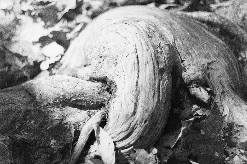 35mm Film Black And White Photography Caffenol Film Nature Root Tree