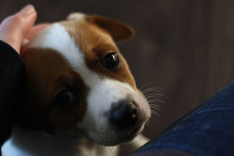 One Animal Pets Animal Body Part Close-up Dog Animal Head  Human Body Part Portrait Indoors  Domestic Animals One Person Animal Themes Mammal People Day Jackrussellterrier Jackrussell Puppy Cute Patchy Looking At Camera