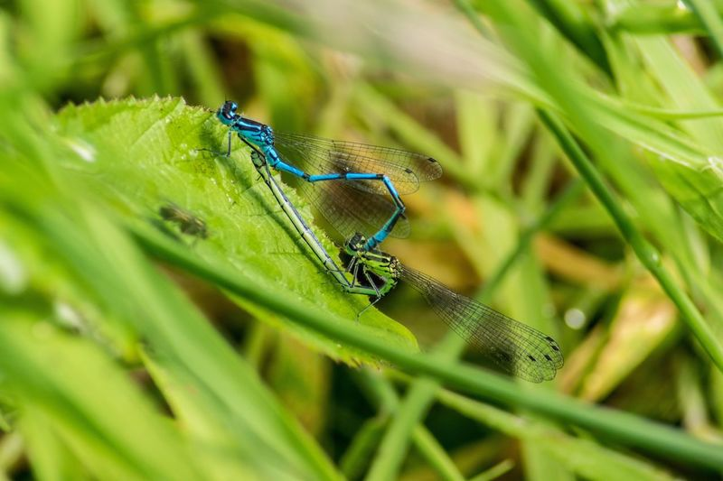 Green Color Animal Themes Animals In The Wild Insect One Animal Damselfly Selective Focus Leaf Day Outdoors Close-up No People Nature Animal Wildlife Grass Mating Laying Pond Life Animal Creature