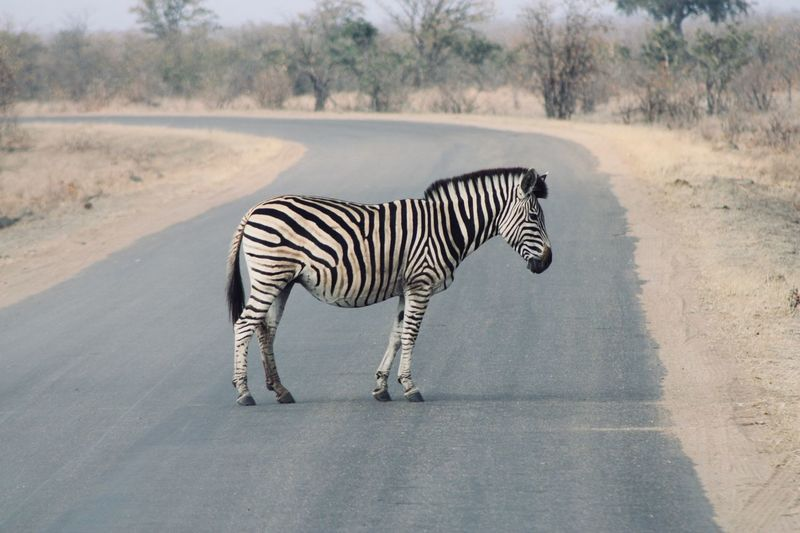 A Zebra Crossing South African Photography African Safari Animal Animal Themes Mammal Animal Wildlife Animals In The Wild Zebra Striped One Animal Road Nature Safari Standing Day No People Outdoors Vertebrate Full Length
