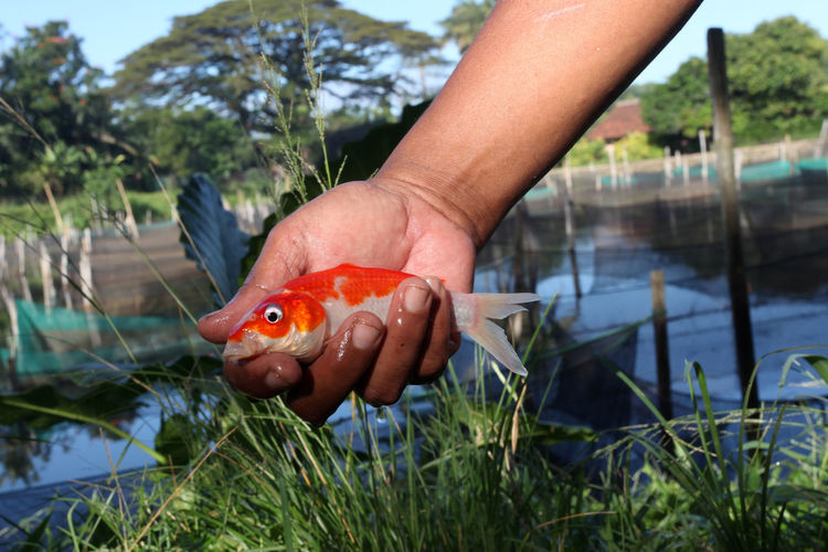 Man Holding Baby Koi Fish Animal Themes Animals In The Wild Close-up Color Image Fish Human Body Part Human Hand Koi Carp Koi Fish One Person Outdoors People