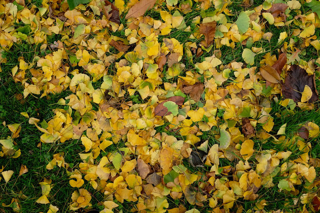 A mass of yello ginko leaves on the ground in autumn Autumn Abundance Autumn Backgrounds Beauty In Nature Change Day Fragility Freshness Ginko Biloba Ginko Leaves Growth Leaf Leaves Many Leaves Nature No People Outdoors Plant Yellow