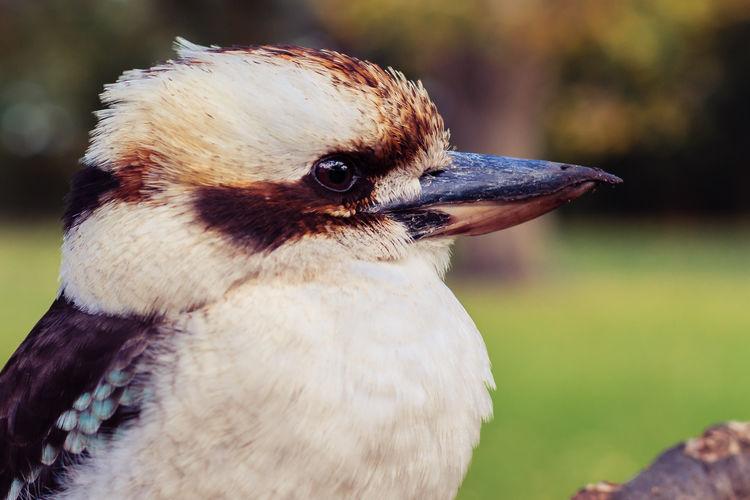 Bird Close-up Day Kookaburra Nature Outdoors Royal Botanic Gardens, Melbourne Side View Wildlife