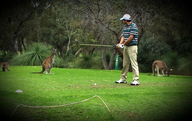 Animal Themes Australian Golfing⛳ Green Kangaroos Spectator Summertime Teeoff Wildlife
