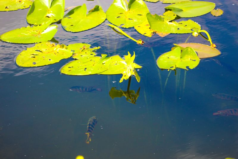 Yellow water lily in lake