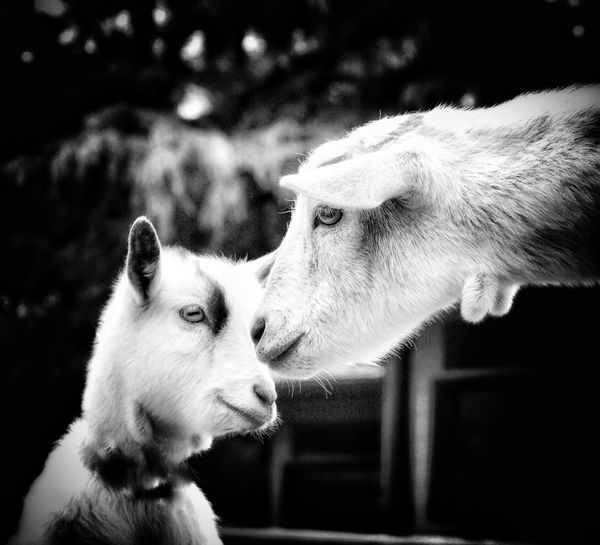 Close-up of goat with kid