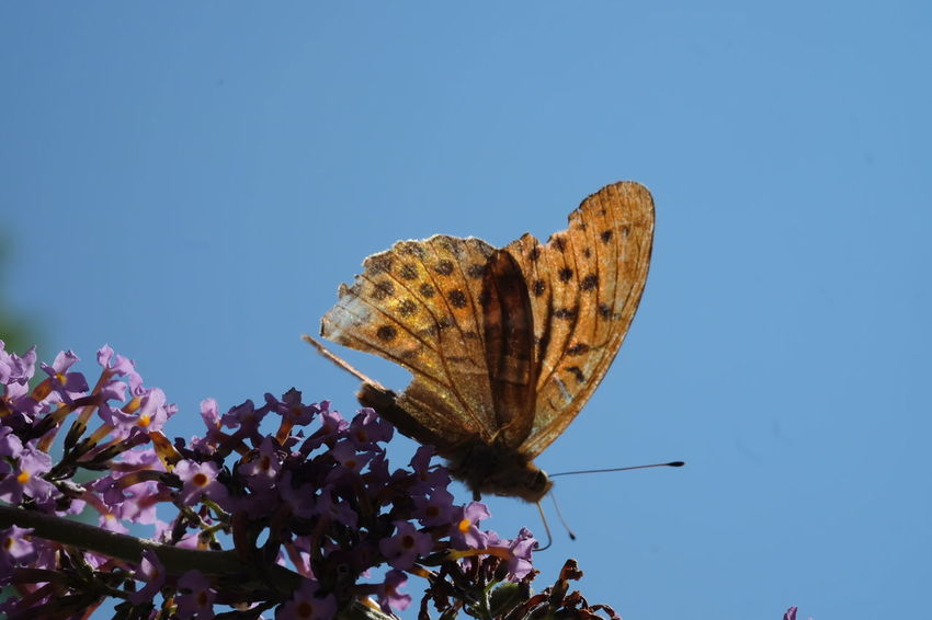 Flower Blue Butterfly - Insect Insect Close-up Sky Animal Themes Plant