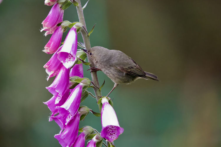 Animal Themes One Animal Animal Flower Animals In The Wild Animal Wildlife Plant Beauty In Nature Flowering Plant Bird Close-up Vertebrate Focus On Foreground Perching No People Nature Pink Color Fragility Day Vulnerability  Outdoors Flower Head Purple