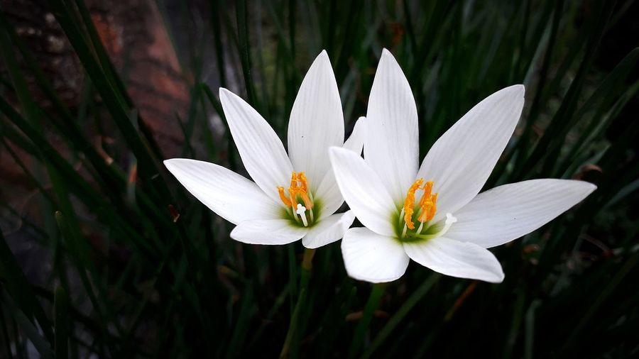 Natural Macro Deli Serdang North Sumatra - Indonesia Beautiful Indonesia Photography  White Flower Flower Head Flower Water Lotus Water Lily Water Lily Leaf Petal White Color Pollen