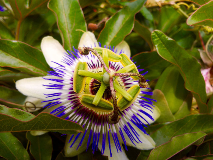Close-up of passion flower blooming outdoors