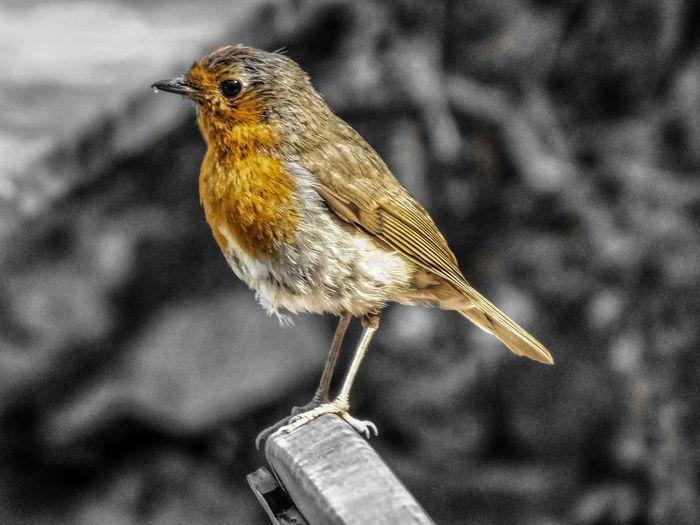 The Robin Malephotographerofthemonth Nature Photography Wildlife & Nature Nature Wildlife Photography Bird Perching Animal Themes Close-up Sky Robin Young Bird