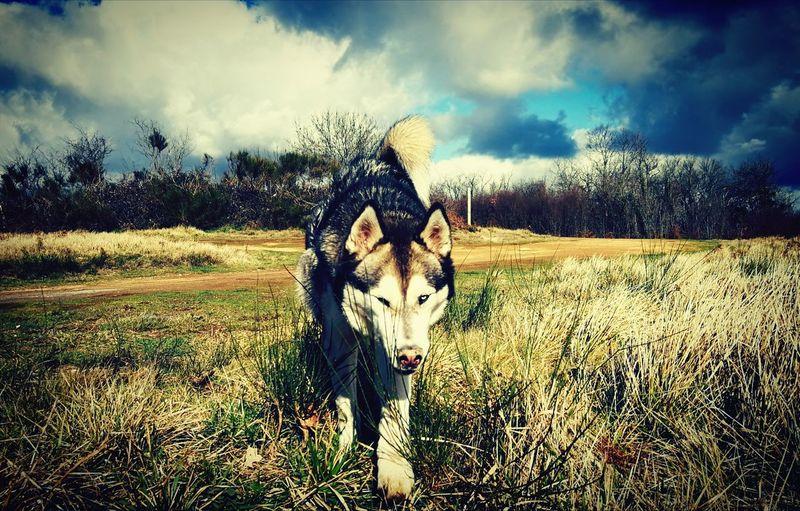 Husky Husky ♡ Nature Dog Huskyphotography Field Horse Standing Sky Grass Cloud - Sky