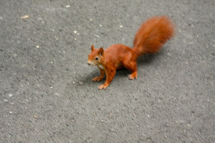 Pets Red Fox
