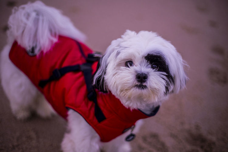 Beach Black And White Cute Cute Puppy Day Dog Greedy High Angle View Outdoors Pets Portrait Red Vest Shiny Eyes Small Small Dog West Highland White Terrier