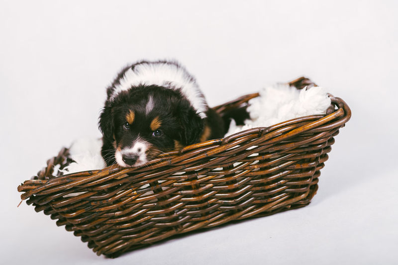 Close-up of puppy against white background