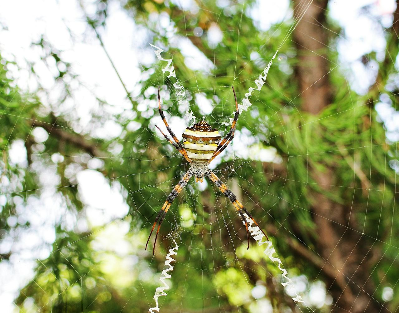 spider web, spider, one animal, animal themes, web, animals in the wild, nature, focus on foreground, survival, day, no people, weaving, outdoors, insect, close-up, animal wildlife, trapped, beauty in nature