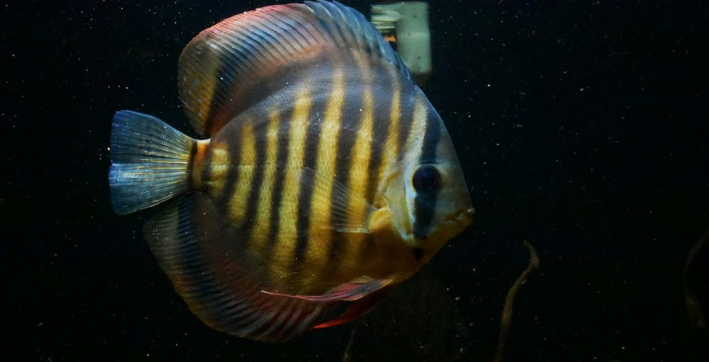 Discus One Animal Underwater Animals In The Wild No People Animal Themes Sea Life UnderSea Swimming Animal Wildlife Close-up Day Outdoors Beauty In Nature Fish Multi Colored Discus Fish EyeEm Nature Lover Eyeemphotography