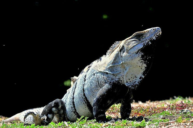 Iguana En Cancun