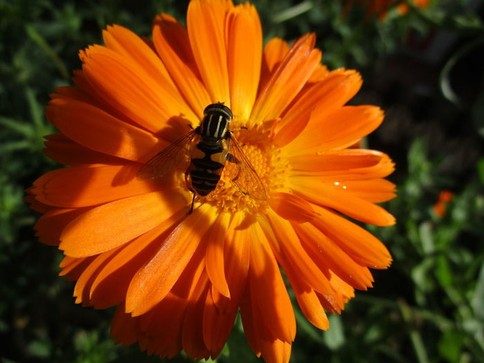 Close-up of insect on orange flower