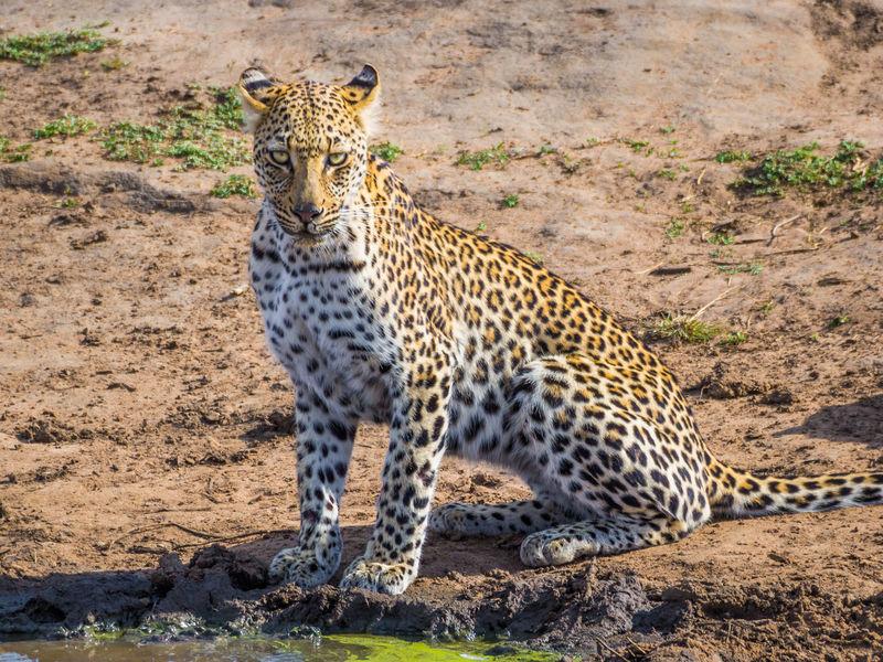 South Africa Wildlife Animal Safari Animals Safari African Africa Krüger National Park  Krüger National Park  Kruger Kruger Park Leopard