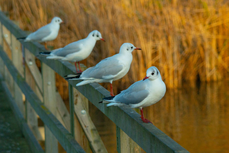 Black headed gulls in winter plumage single close up perched on bridge handrail in formation