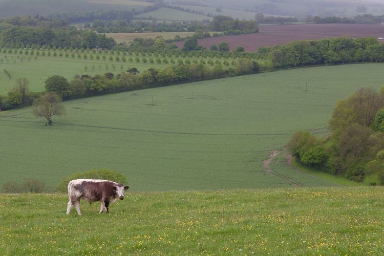 Cow standing on cultivated landscape