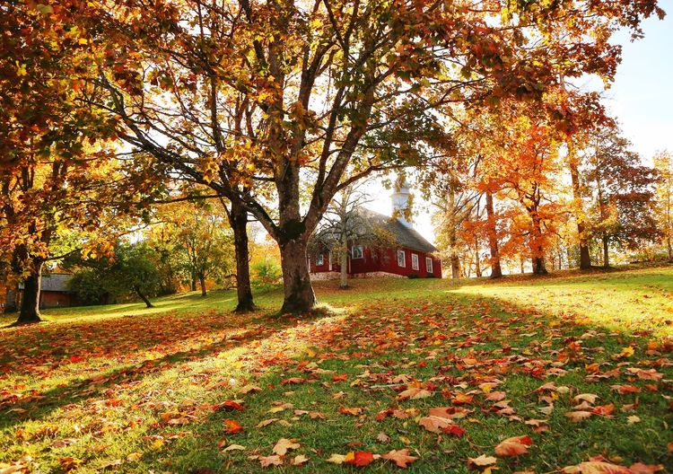 Church Landscape Autumn Leaves Autumn colors Autumn Yellow Landscape_Collection Landscape_photography Flower Field Change Sky Grass Built Structure Fallen Fallen Leaf Maple Leaf Maple Tree Leaf Vein Woods Sunrays Countryside Park - Man Made Space