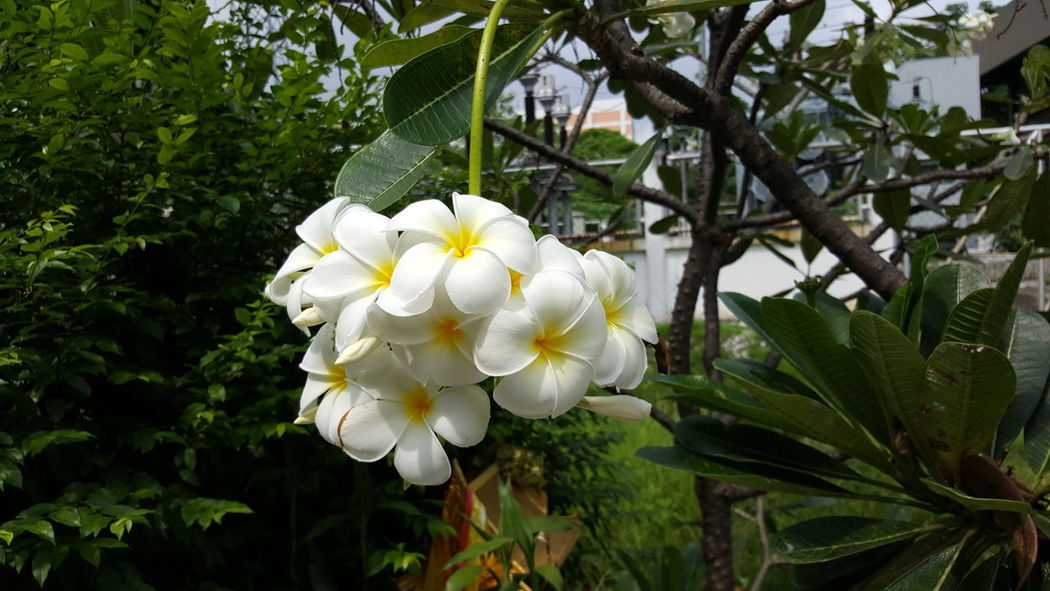 Beauty In Nature Blooming Branch Close-up Day Flower Flower Head Fragility Frangipani Freshness Green Color Growth Leaf Nature No People Outdoors Petal Plant Tree White Color