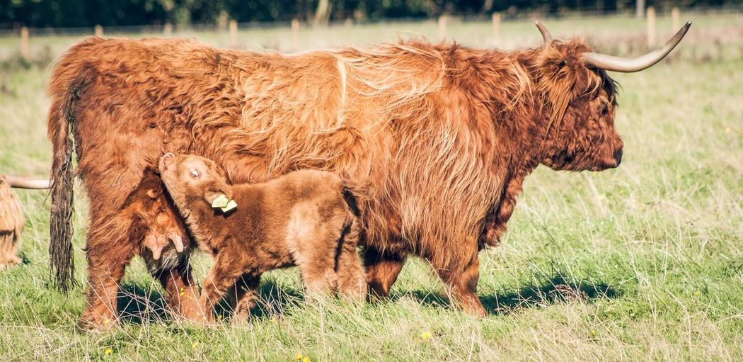 Highland Cattle With Calf On Grassy Field