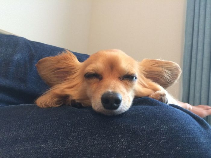 Close-up of chihuahua relaxing on lap at home