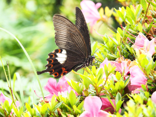 A butterfly that smokes azalea's honey (ツツジの蜜を吸う蝶) Ad Beautiful Copy Space Green Nature Plant Red Swallowtail Azalea Black Color Butterfly Close-up Flower Insect Landscape Margin No Person Nobody Pink Color Takashima Text Space White つつじ ピンク色 蝶