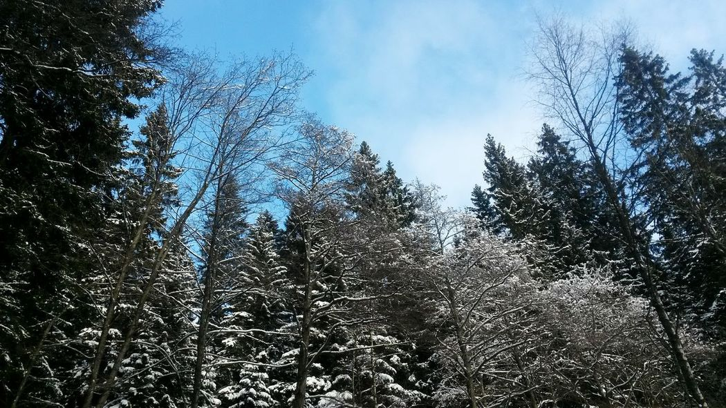 Winter Trees Snow ❄ Snowscape Beauty In Nature Tranquility Nature Tree Crowns Nature Snowing Winter Landscape Wintertime Blue Sky With Clouds