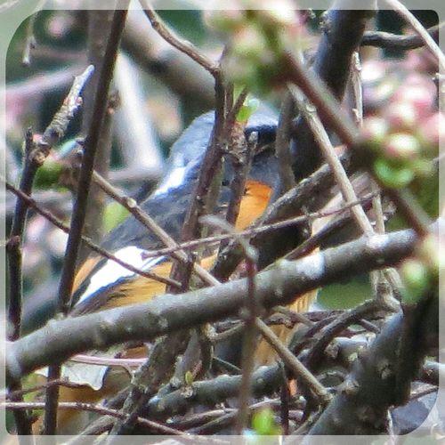 ジョウビタキ♂。次の冬、また来てね。 Bird Photography ジョウビタキ Daurian Redstart