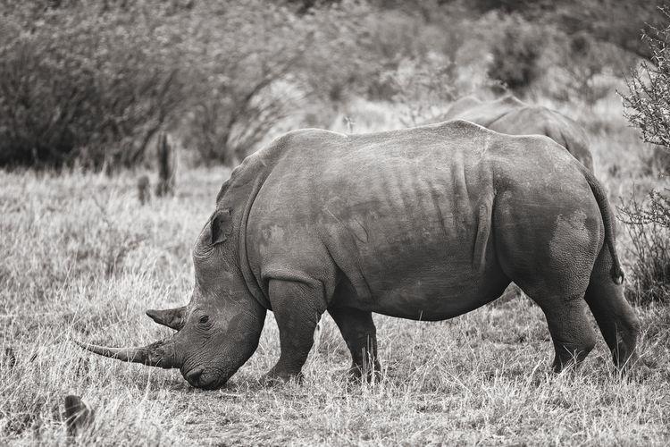 Rhino standing in field