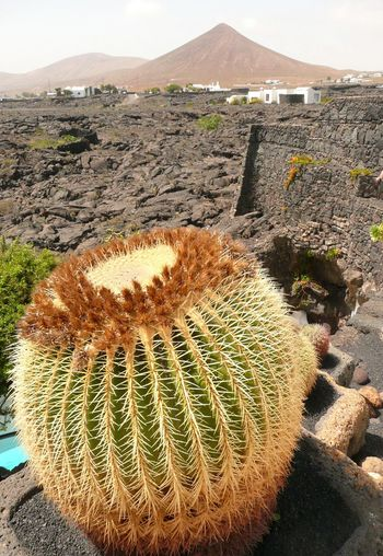 Golden Ball Cactus on Lanzarote with volcanoe Arid Climate Beauty In Nature Cactus Day Desert Golden Ball Ca Growth Lanzarote Lanzarote Collection Lanzarote Island Lanzarote-Canarias Mother-in-law's Cushion Mountain Nature No People Outdoors Plant Schwiegermuttersitz Spiked Thorn Vulkangestein Vulkaninsel Lanzarote 😍💙 Golden Ball Cactus