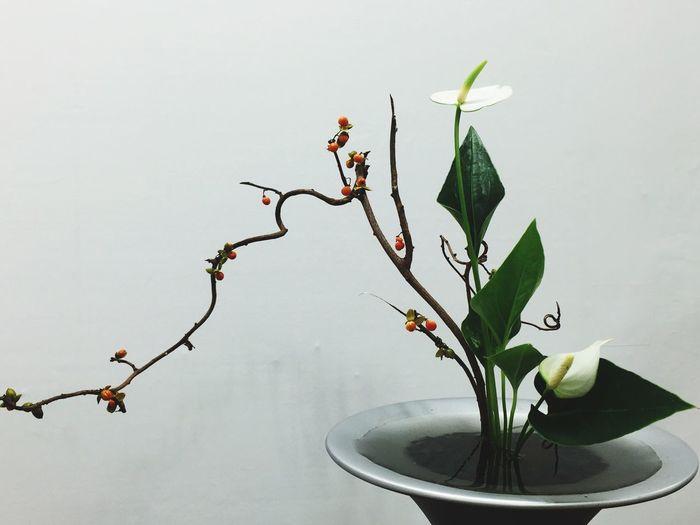 Flower White Background No People Fragility Studio Shot Beauty In Nature Art Flower Arrangement 生け花 池坊 IKEBANA IKENOBO Flower Head Plant Nature Beauty In Nature