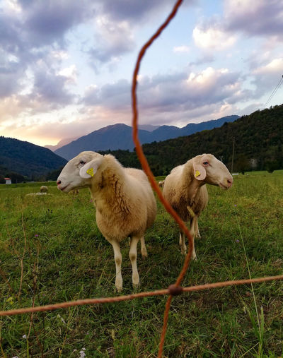I feel sLOVEnia. ♥️🔆🤗 (Cheerleaders🐑🐑) Tolmin Mammal Sheep Farm Afternoon Beauty In Nature Wool Electric Fence EyeEm Best Shots Best Vacation EyeEm Gallery EyeEm Selects Slovenia Beautiful Day Sunshine Day Nature Nature Collection Standing Sky Animal Themes Grass Cloud - Sky Livestock Sheep Pasture Livestock Tag Herbivorous Farmland Agricultural Field Cultivated Land Grazing