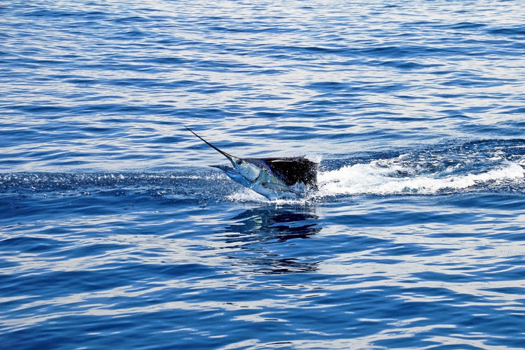 Marlin sailfish, pacific ocean, Costa Rica Central America BIG Beautiful Central America Costa Rica Deep Sea MERLIN Big Game Big Game Fishing Blue Boat Deep Deep Sea Fishing Fish Fishing Game Marlin Ocean Sailfish Saltwater Sea Sky Sport Sword Tropical Water