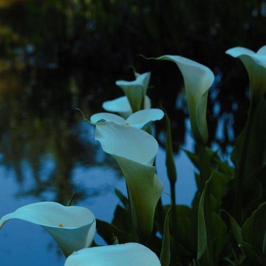 The Essence Of Summer - 2016 Eyem Awards The Essence Of Summer Coos Bay North Bend Oregon Coast Bayarea Flowers Lillys Enjoying Life Jewell Photography Photography Canonphotography Photooftheday