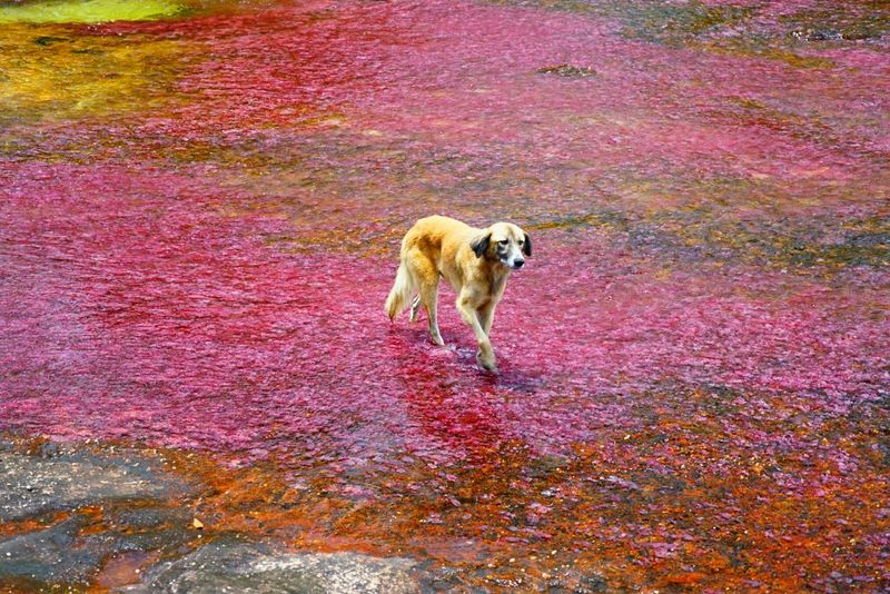 The Rainbow River Dogs Amazing Colors Amazing Nature Rivers at Caño Cristales Colombia Showcase June
