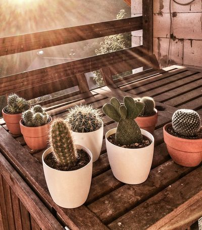 Sunny At The Balcony Summer At The Balcony Copy Space Wooden Table Kakteenliebe Potted Cactus Kaktus Cacti Kakteen Sunbeams Cactus Brown Color Warm Colors Potted Plant Plant Nature Growth Sunlight No People Day Cactus High Angle View Outdoors Succulent Plant Wood - Material Shadow Flower Pot Greenhouse Botany