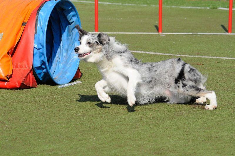Dog running on grassy field