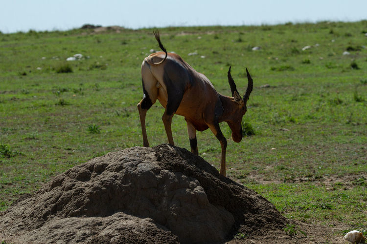 Behind a topi antelope that is getting off of a dirt hill in the middle of a field