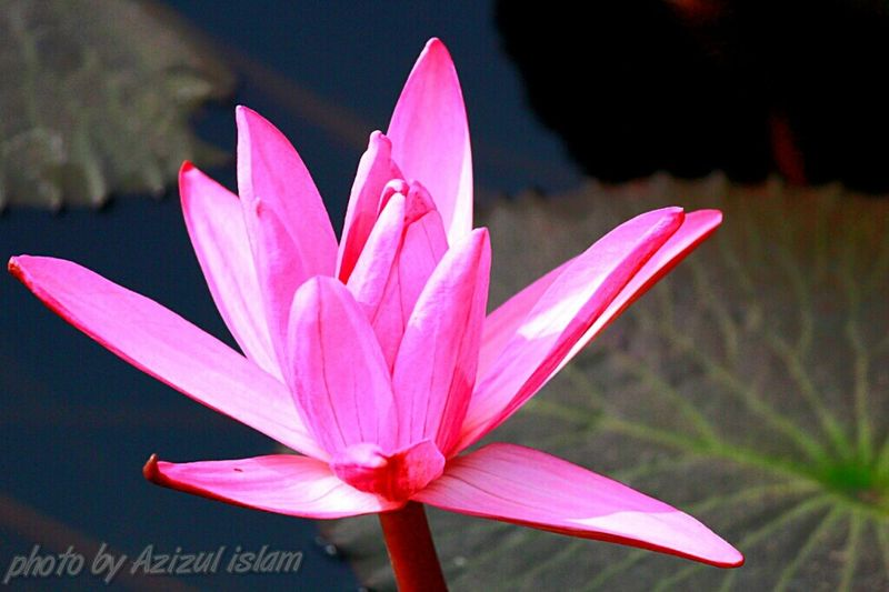 Pink Lotus in Pond , Amateur Photography Beauty Indian The EyeEm Facebook Cover Challenge Tree Hugger Assam