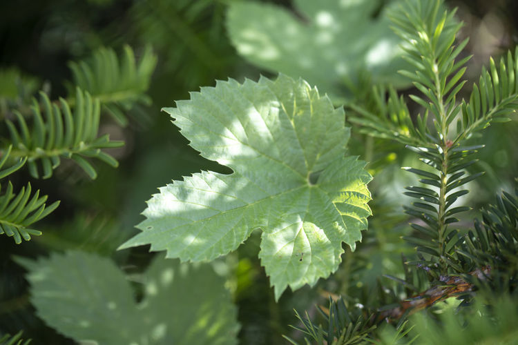 Close-up of green leaves on pine tree