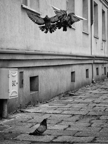 3 3 Birds Approaching Fight Gaz Landing Mid-air Mid-flight Pavement Pigeons Traffic Jam Triangle Trouble Waiting Wings