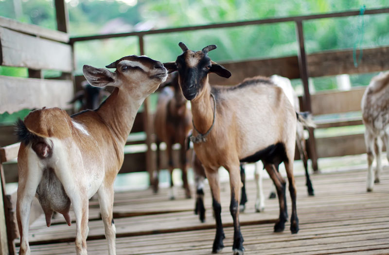 Goats standing at stable