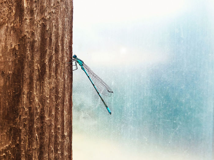 One lonely blue turquoise dragonfly sitting on a wooden beam in close-up Dragonfly Insect Collection Wild Animal Wildlife & Nature Wood Animal Animal Themes Beauty In Nature Beauty In Nature Blue Blue Insect Close-up Day Insect Insect Close-up Insect Photography Nature No People One Animal Sitting Animal Turquoise Colored Wild Life Wildlife Wood - Material Wooden